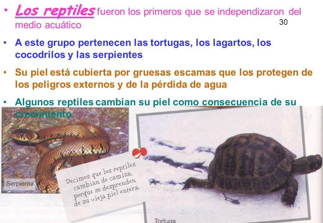 29 Los reptilesLos reptiles fueron los primeros que se independizaron del medio acuático A este grupo pertenecen las tortugas, los lagartos, los cocod
