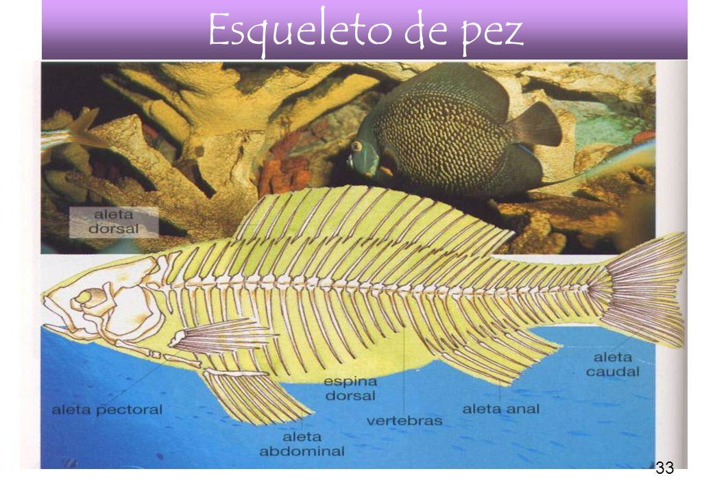 32 Esqueleto de pez 33
