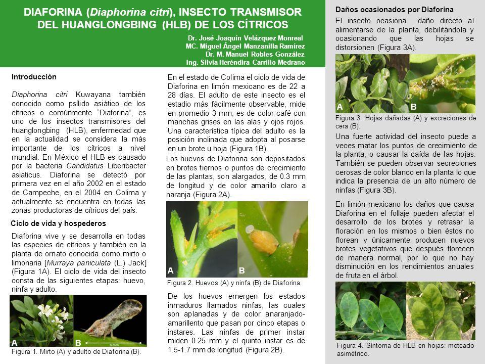DIAFORINA (Diaphorina citri), INSECTO TRANSMISOR DEL HUANGLONGBING (HLB) DE LOS CÍTRICOS Instituto Nacional de Investigaciones Forestales, Agrícolas y