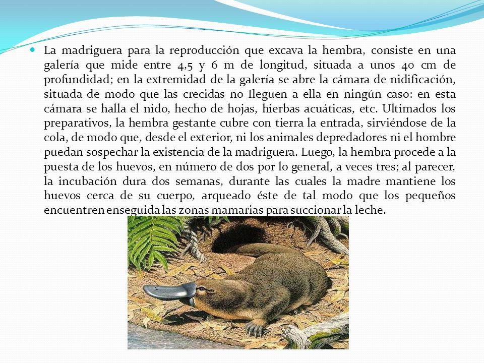 La madriguera para la reproducción que excava la hembra, consiste en una galería que mide entre 4,5 y 6 m de longitud, situada a unos 40 cm de profund