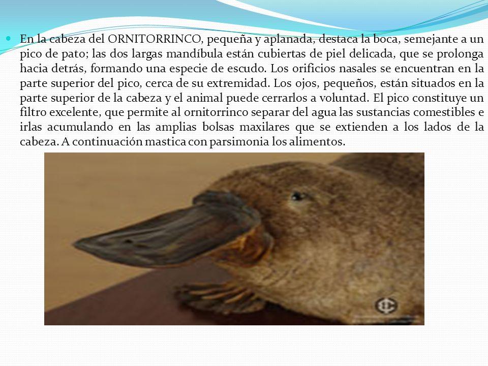 En la cabeza del ORNITORRINCO, pequeña y aplanada, destaca la boca, semejante a un pico de pato; las dos largas mandíbula están cubiertas de piel deli