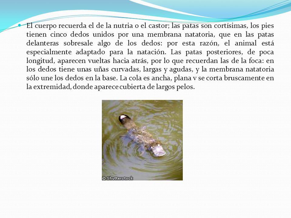 El cuerpo recuerda el de la nutria o el castor; las patas son cortísimas, los pies tienen cinco dedos unidos por una membrana natatoria, que en las pa