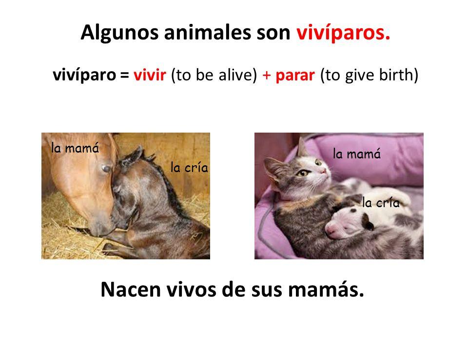 Algunos animales son vivíparos. vivíparo = vivir (to be alive) + parar (to give birth) la mamá la cría la mamá la cría Nacen vivos de sus mamás.