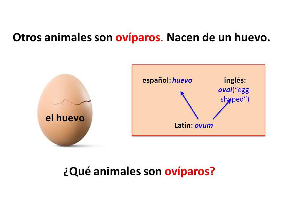 Otros animales son ovíparos. Nacen de un huevo. ¿Qué animales son ovíparos? español: huevo Latín: ovum inglés: oval(egg- shaped) el huevo