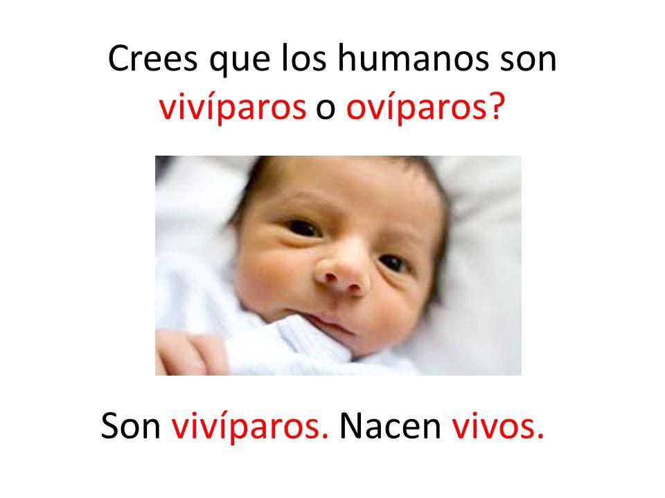 Crees que los humanos son vivíparos o ovíparos? Son vivíparos. Nacen vivos.