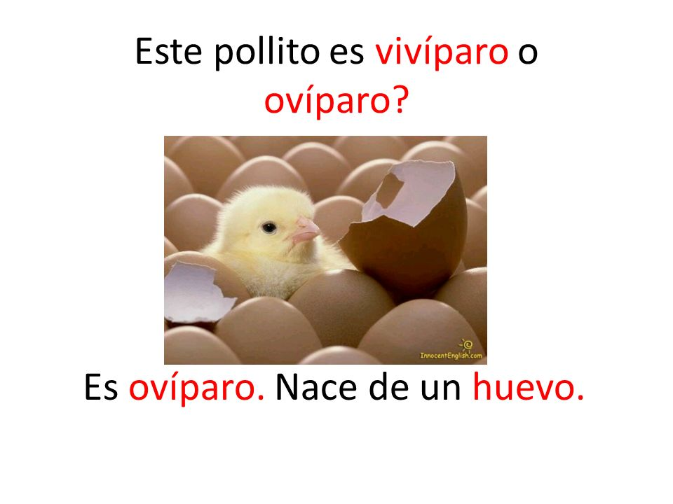 Spanish: HUEVO English: OVAL Both from the Latin word OVUM Es ovíparo. Nace de un huevo. Este pollito es vivíparo o ovíparo?