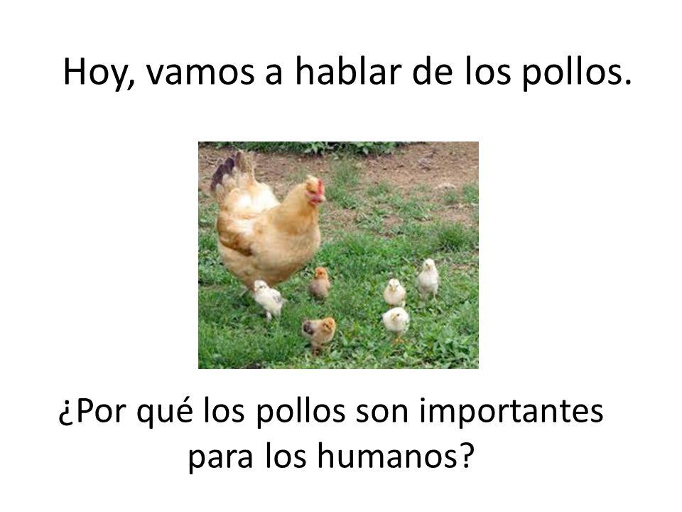 Both from the Latin word OVUM Hoy, vamos a hablar de los pollos. ¿Por qué los pollos son importantes para los humanos?