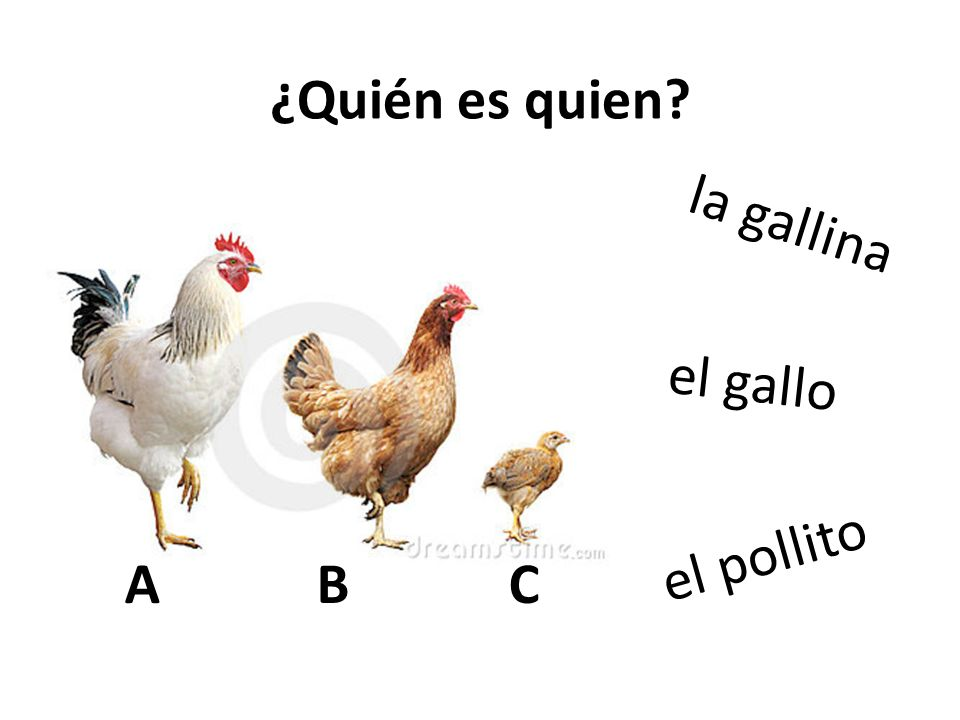 Both from the Latin word OVUM ¿Quién es quien? el gallo la gallina el pollito ABCABC