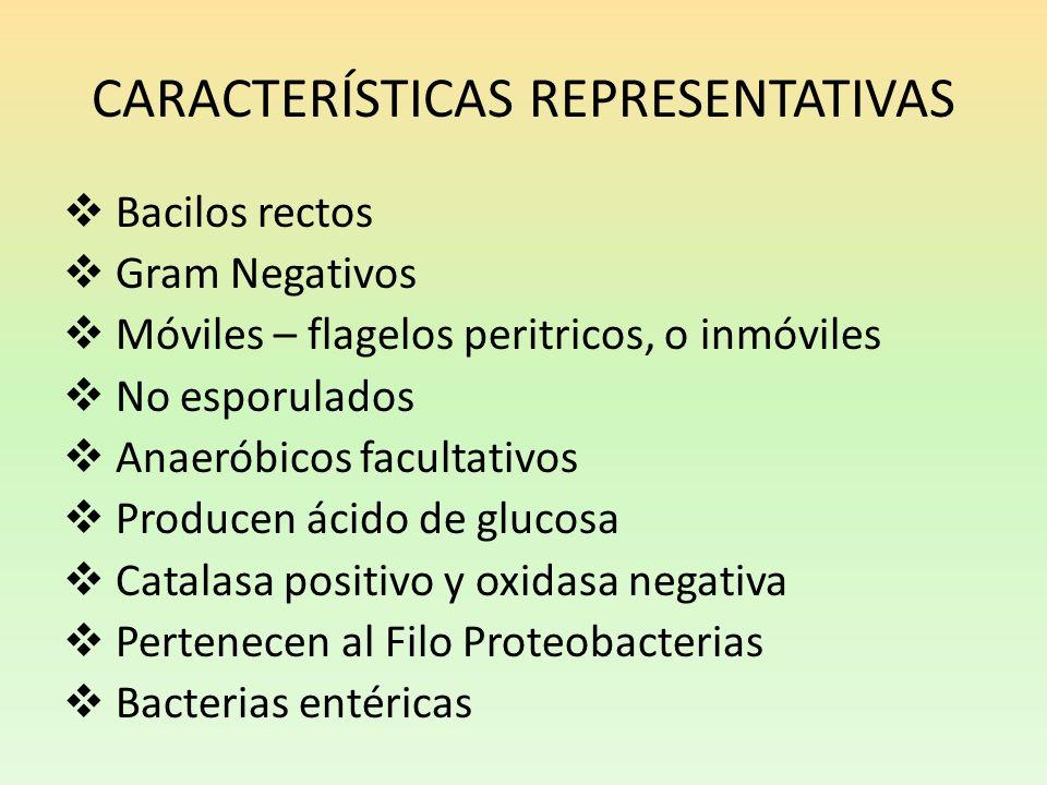 CARACTERÍSTICAS REPRESENTATIVAS Bacilos rectos Gram Negativos Móviles – flagelos peritricos, o inmóviles No esporulados Anaeróbicos facultativos Produ