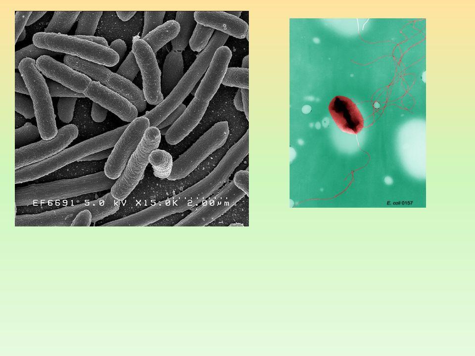 CLASIFICACIÓN TAXONÓMICA Reino – Mónera o - Bacteria Filo – Proteobacterias Clase – Proteobacterias gamma Orden – Enterobacteriales Familia - Enterobacteriaceae Género - Escherichia Especie – Escherichia coli