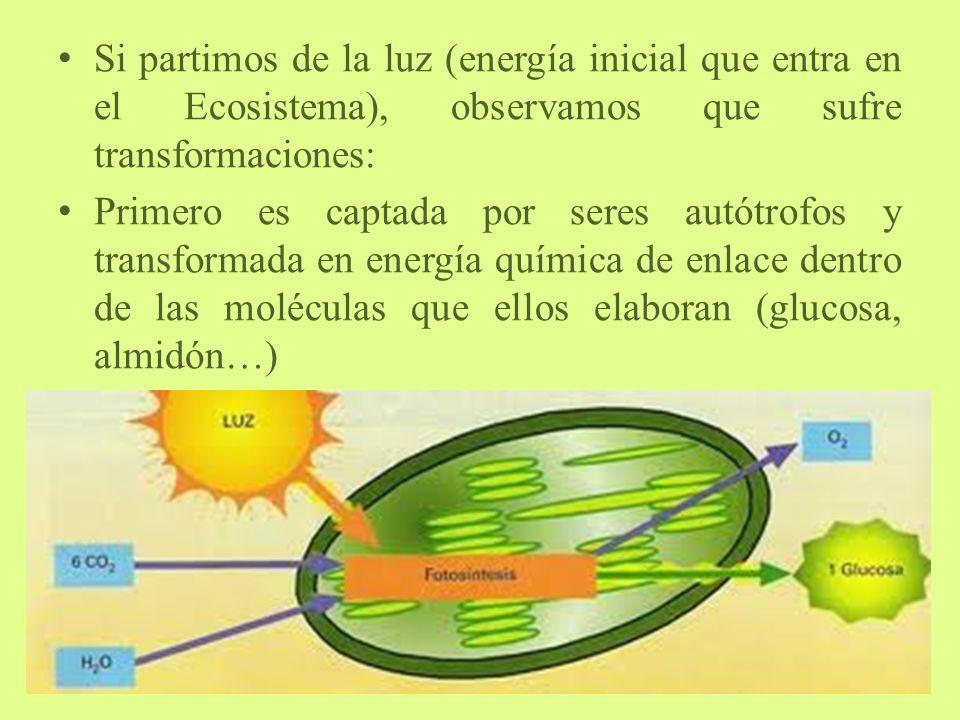 Si partimos de la luz (energía inicial que entra en el Ecosistema), observamos que sufre transformaciones: Primero es captada por seres autótrofos y transformada en energía química de enlace dentro de las moléculas que ellos elaboran (glucosa, almidón…)
