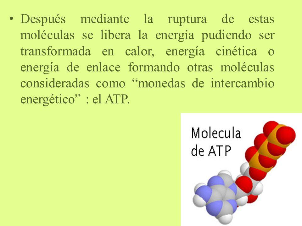 Después mediante la ruptura de estas moléculas se libera la energía pudiendo ser transformada en calor, energía cinética o energía de enlace formando otras moléculas consideradas como monedas de intercambio energético : el ATP.