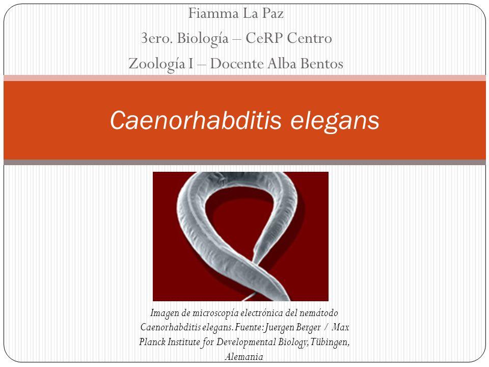 Fiamma La Paz 3ero. Biología – CeRP Centro Zoología I – Docente Alba Bentos Caenorhabditis elegans Imagen de microscopía electrónica del nemátodo Caen
