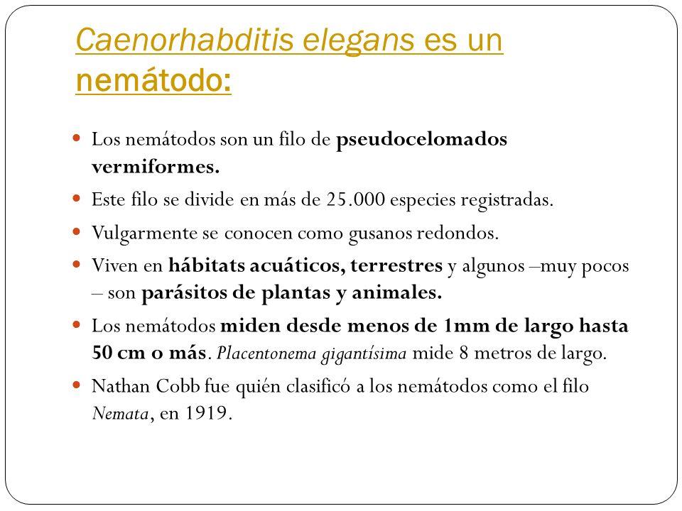 Caenorhabditis elegans es un nemátodo: Los nemátodos son un filo de pseudocelomados vermiformes. Este filo se divide en más de 25.000 especies registr