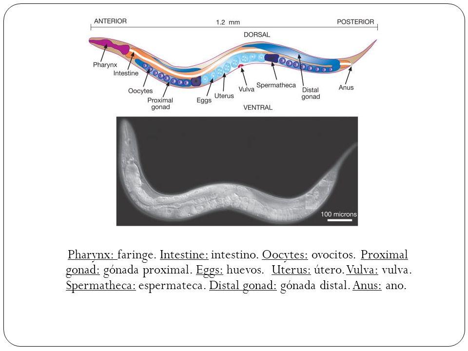 Pharynx: faringe. Intestine: intestino. Oocytes: ovocitos. Proximal gonad: gónada proximal. Eggs: huevos. Uterus: útero. Vulva: vulva. Spermatheca: es