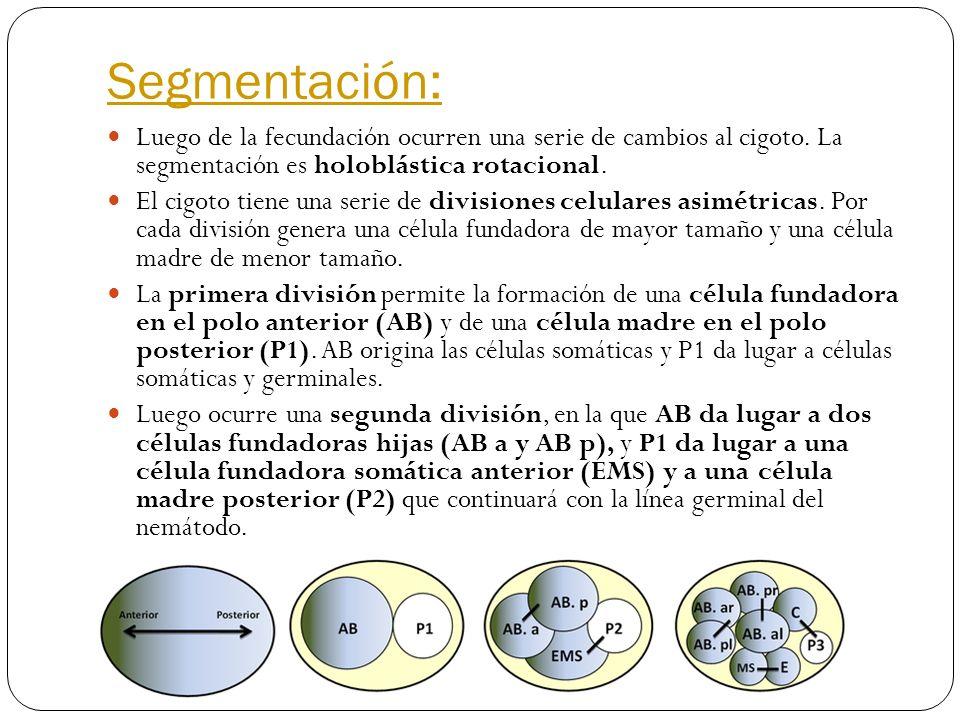 Segmentación: Luego de la fecundación ocurren una serie de cambios al cigoto. La segmentación es holoblástica rotacional. El cigoto tiene una serie de