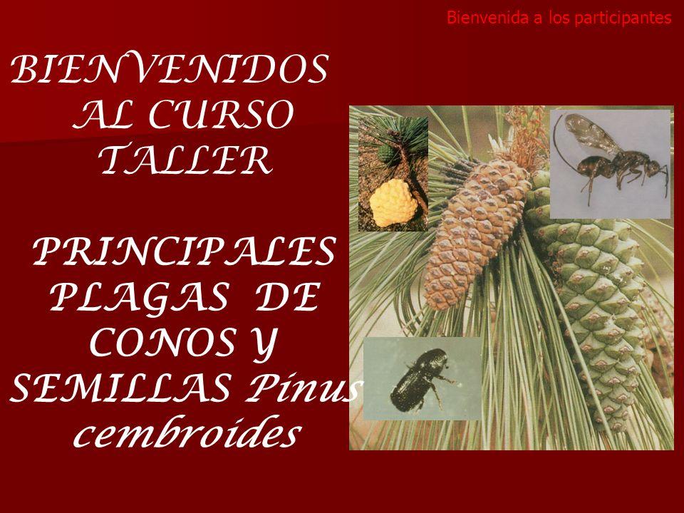 BIENVENIDOS AL CURSO TALLER PRINCIPALES PLAGAS DE CONOS Y SEMILLAS Pinus cembroides Bienvenida a los participantes