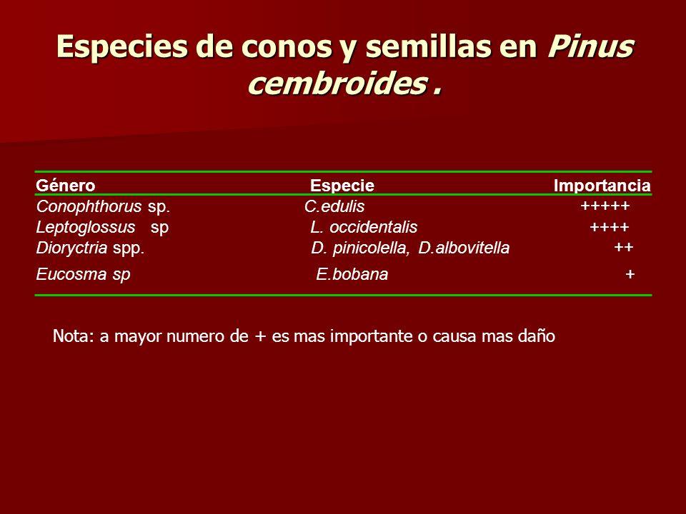 Especies de conos y semillas en Pinus cembroides. GéneroEspecie Importancia Conophthorus sp. C.edulis +++++ Leptoglossus sp L. occidentalis ++++ Diory