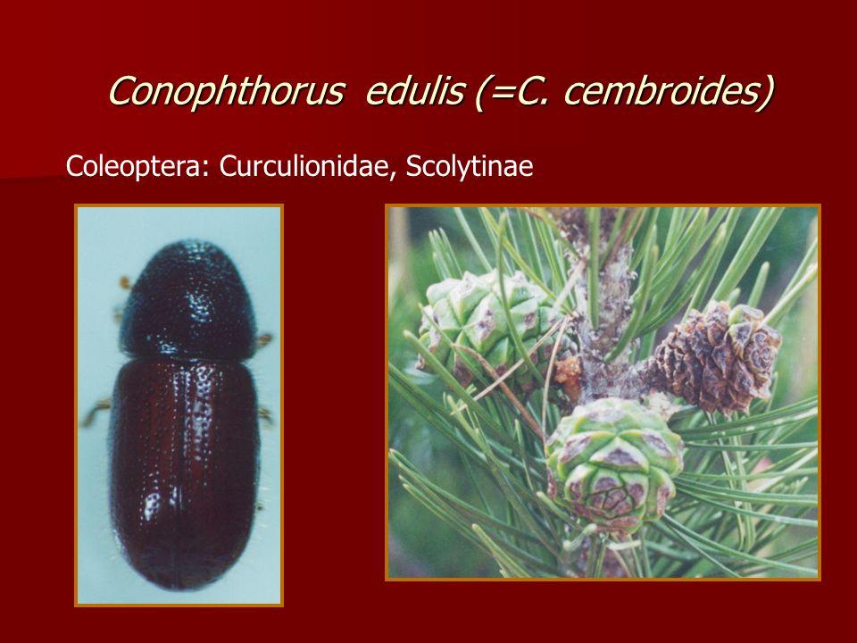 Conophthorus edulis (=C. cembroides) Coleoptera: Curculionidae, Scolytinae