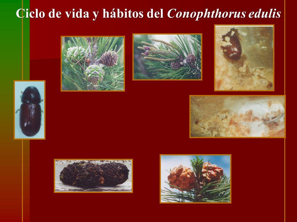 Ciclo de vida y hábitos del Conophthorus edulis