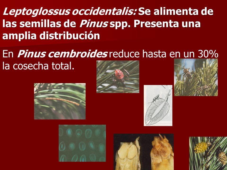: Se alimenta de las semillas de Pinus spp. Presenta una amplia distribución Leptoglossus occidentalis: Se alimenta de las semillas de Pinus spp. Pres