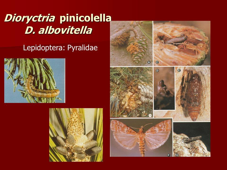 Dioryctria pinicolella D. albovitella Lepidoptera: Pyralidae