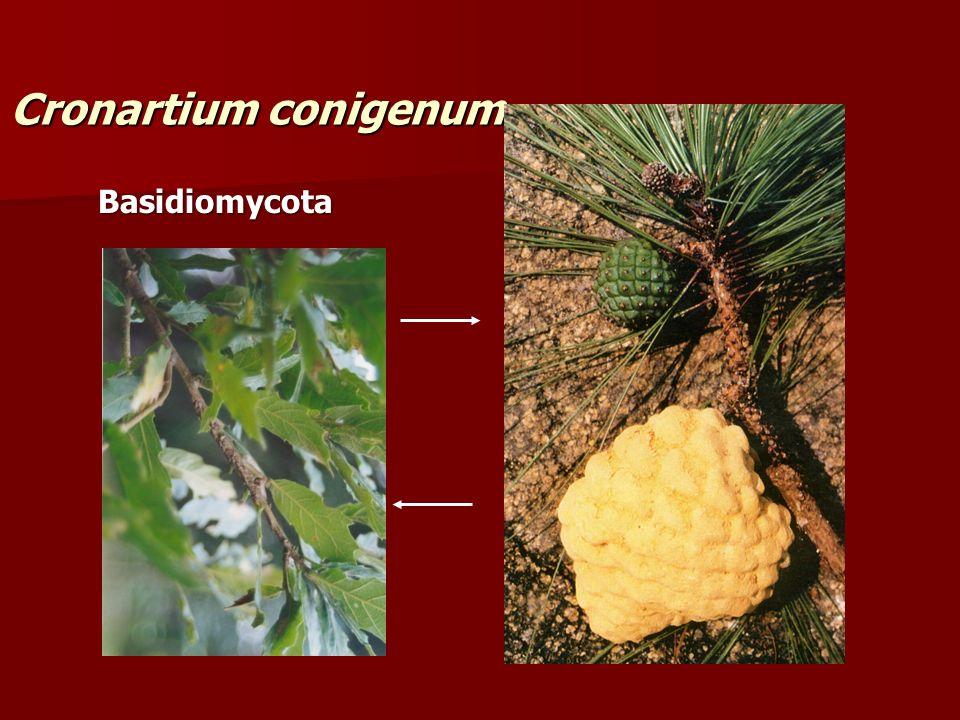 Cronartium conigenum Basidiomycota
