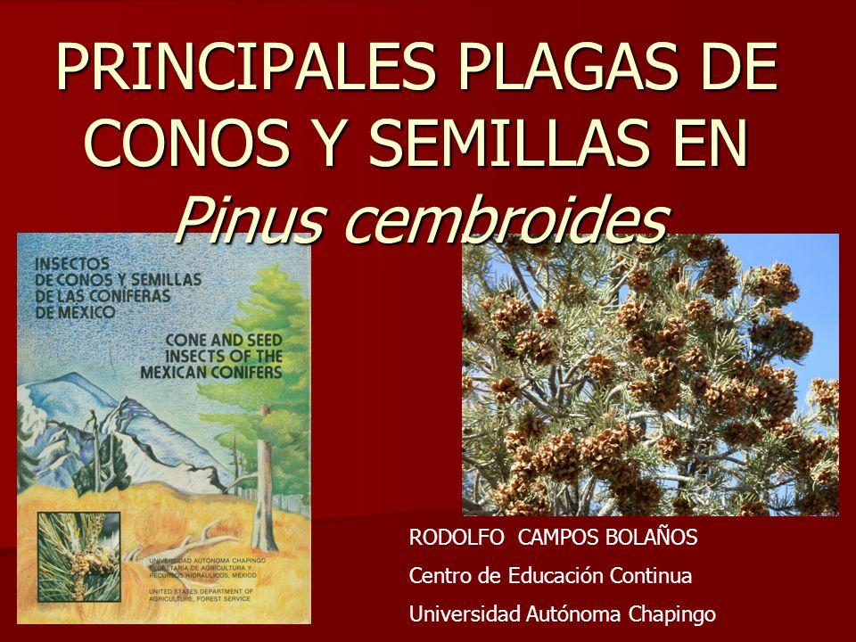 RODOLFO CAMPOS BOLAÑOS Centro de Educación Continua Universidad Autónoma Chapingo PRINCIPALES PLAGAS DE CONOS Y SEMILLAS EN Pinus cembroides