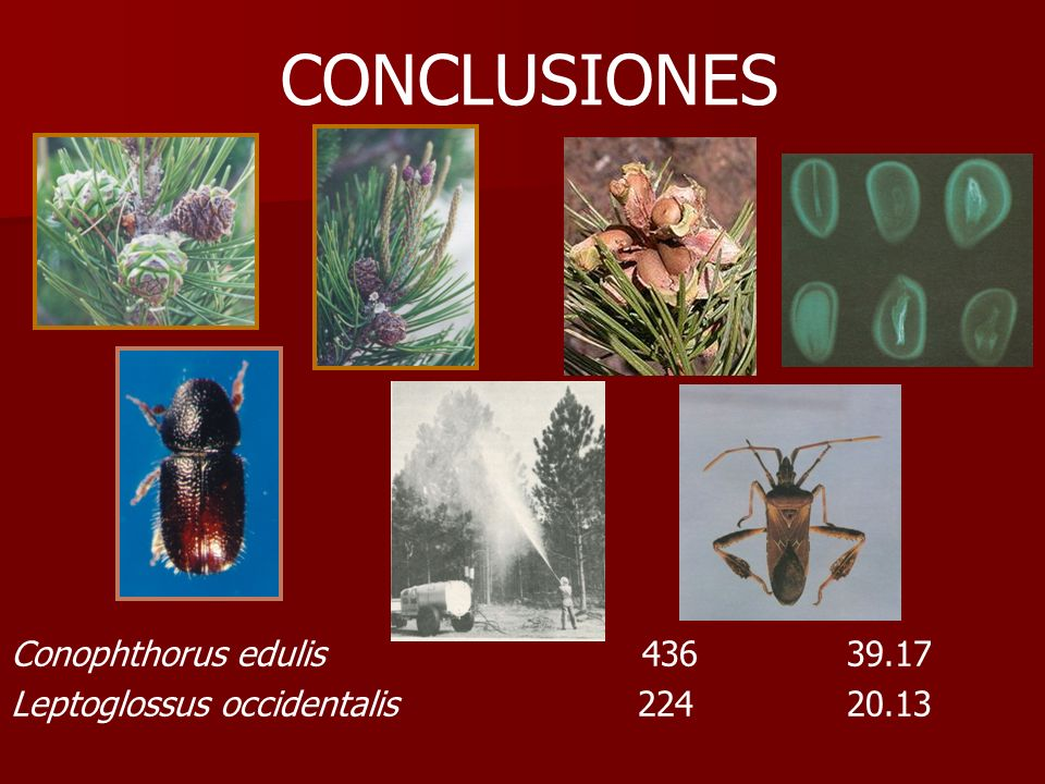 CONCLUSIONES Conophthorus edulis 43639.17 Leptoglossus occidentalis22420.13