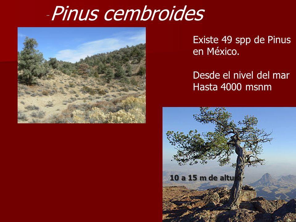 ¨ Pinus cembroides Existe 49 spp de Pinus en México. Desde el nivel del mar Hasta 4000 msnm 10 a 15 m de altura