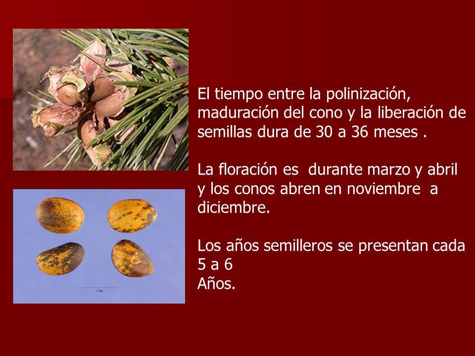 El tiempo entre la polinización, maduración del cono y la liberación de semillas dura de 30 a 36 meses. La floración es durante marzo y abril y los co