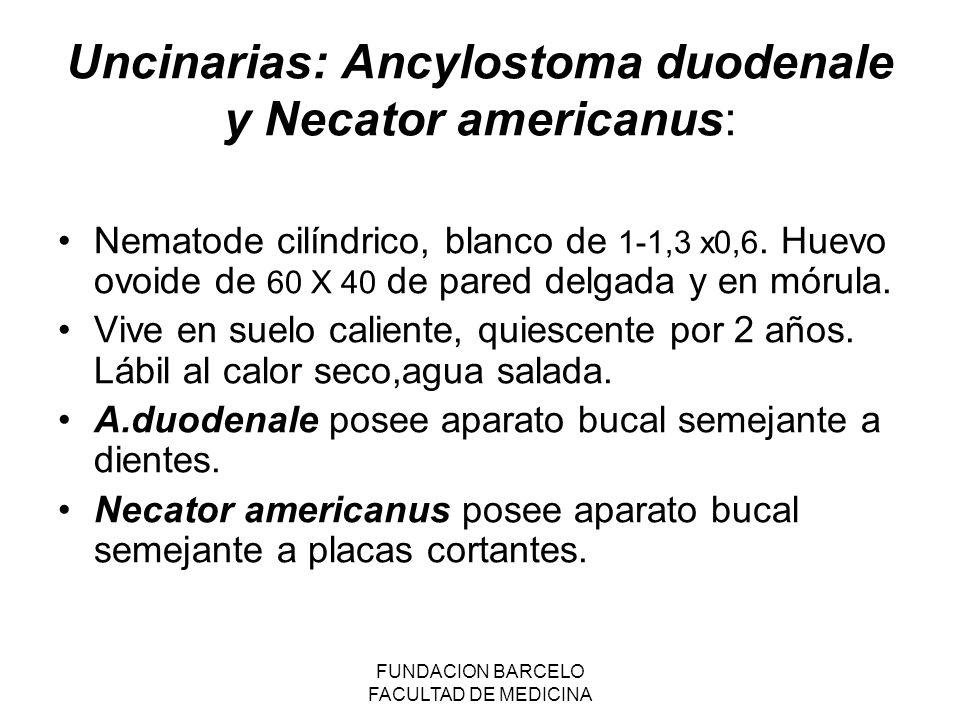 Uncinarias: Ancylostoma duodenale y Necator americanus: Nematode cilíndrico, blanco de 1-1,3 x0,6.