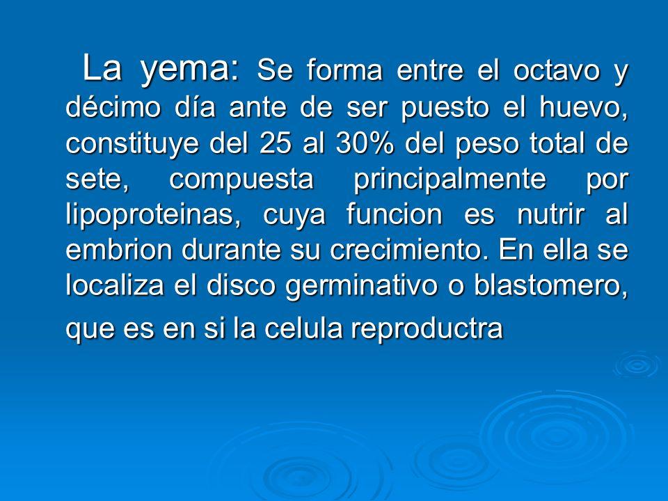 La yema: Se forma entre el octavo y décimo día ante de ser puesto el huevo, constituye del 25 al 30% del peso total de sete, compuesta principalmente