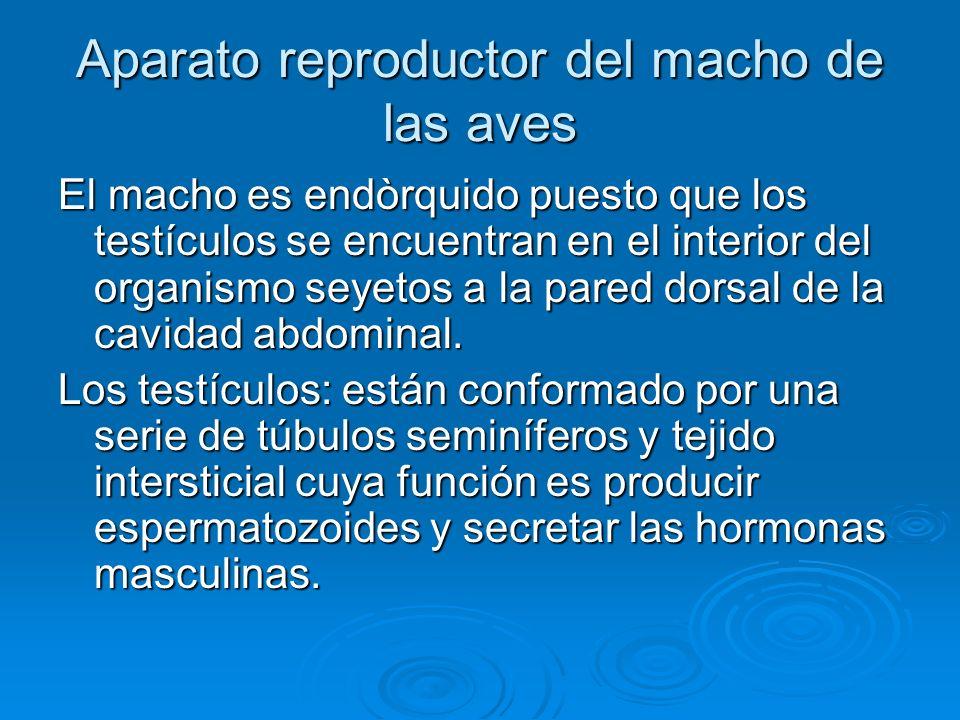 Aparato reproductor del macho de las aves El macho es endòrquido puesto que los testículos se encuentran en el interior del organismo seyetos a la pared dorsal de la cavidad abdominal.