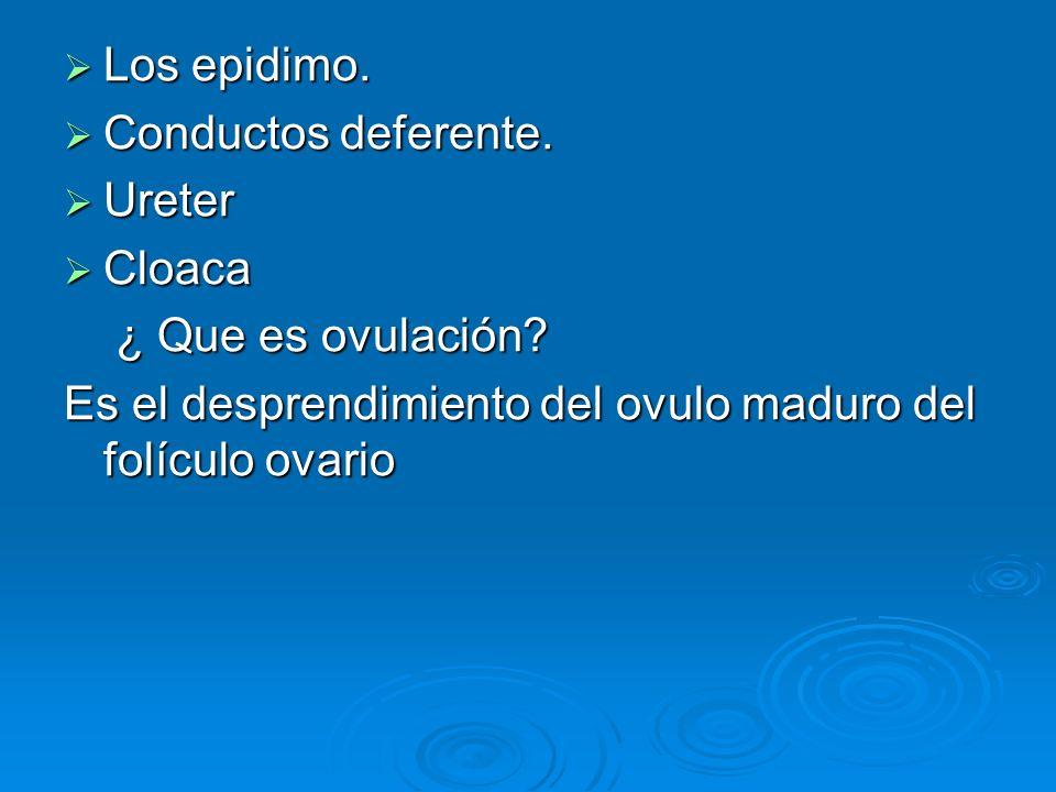 Los epidimo. Los epidimo. Conductos deferente. Conductos deferente. Ureter Ureter Cloaca Cloaca ¿ Que es ovulación? ¿ Que es ovulación? Es el desprend