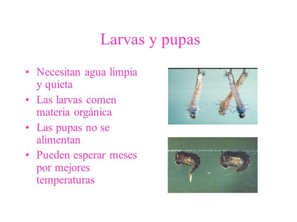 Larvas y pupas Necesitan agua limpia y quieta Las larvas comen materia orgánica Las pupas no se alimentan Pueden esperar meses por mejores temperatura