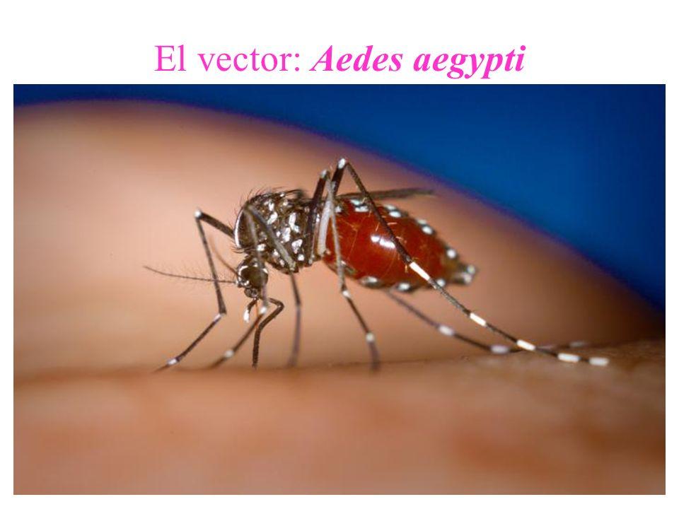 Características del Aedes aegypti diurno (pica de día) urbano (vive en ciudades) doméstico (habita nuestras casas) antropofílico (pica al hombre) pone sus huevos en recipientes domésticos con agua limpia vuelo corto, se traslada en forma pasiva (avión, auto, barco, etc)