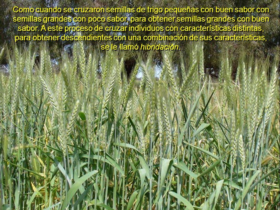 Otros descubrieron la conveniencia de cruzar algunas variedades de plantas y animales, siempre y cuando fueran de la misma especie (híbridos filiales)