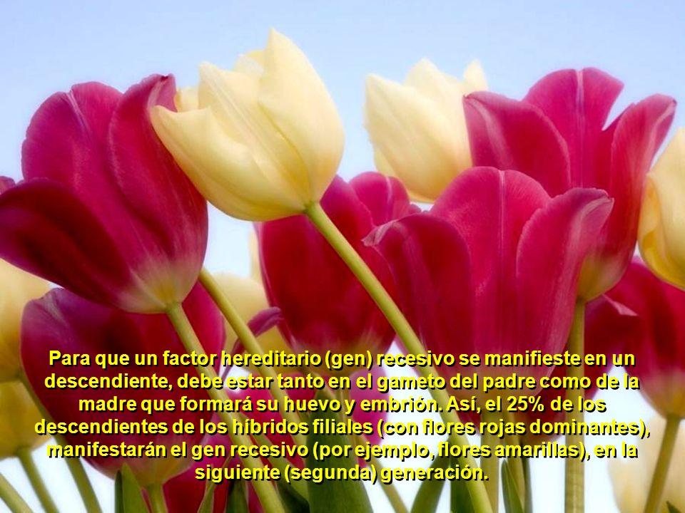 Por último, que el híbrido filial que contiene varios factores hereditarios (genes) como el de las flores amarillas, las flores rojas, las semillas ru