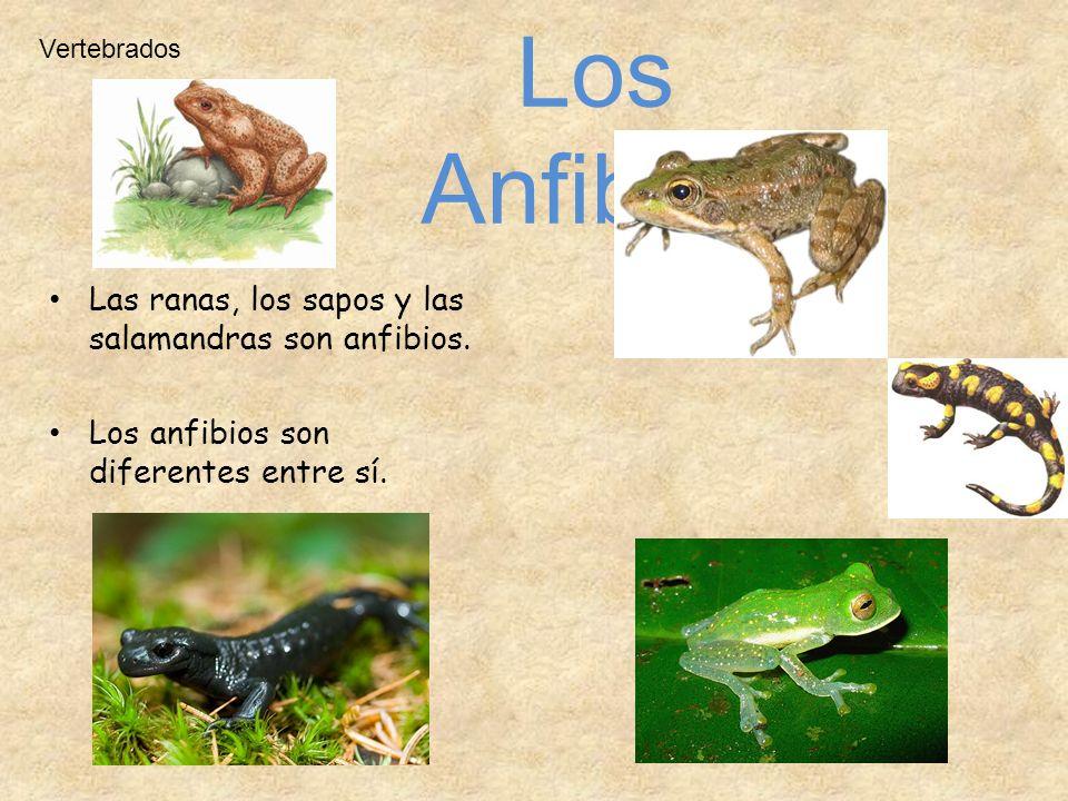 Vertebrados Las ranas, los sapos y las salamandras son anfibios. Los anfibios son diferentes entre sí. Los Anfibios