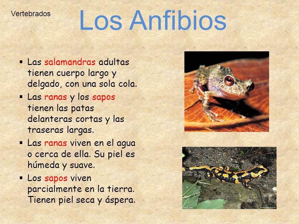 Vertebrados Las salamandras adultas tienen cuerpo largo y delgado, con una sola cola. Las ranas y los sapos tienen las patas delanteras cortas y las t