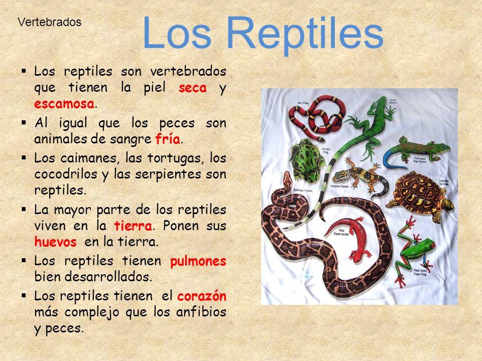 Vertebrados Los reptiles son vertebrados que tienen la piel seca y escamosa. Al igual que los peces son animales de sangre fría. Los caimanes, las tor