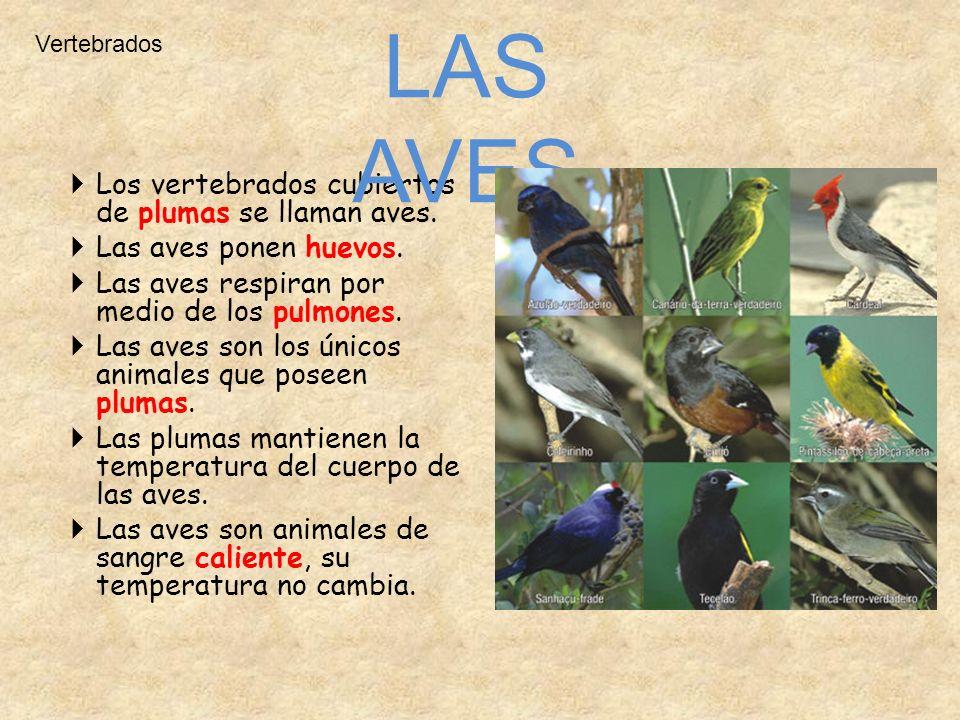 Vertebrados Los vertebrados cubiertos de plumas se llaman aves. Las aves ponen huevos. Las aves respiran por medio de los pulmones. Las aves son los ú