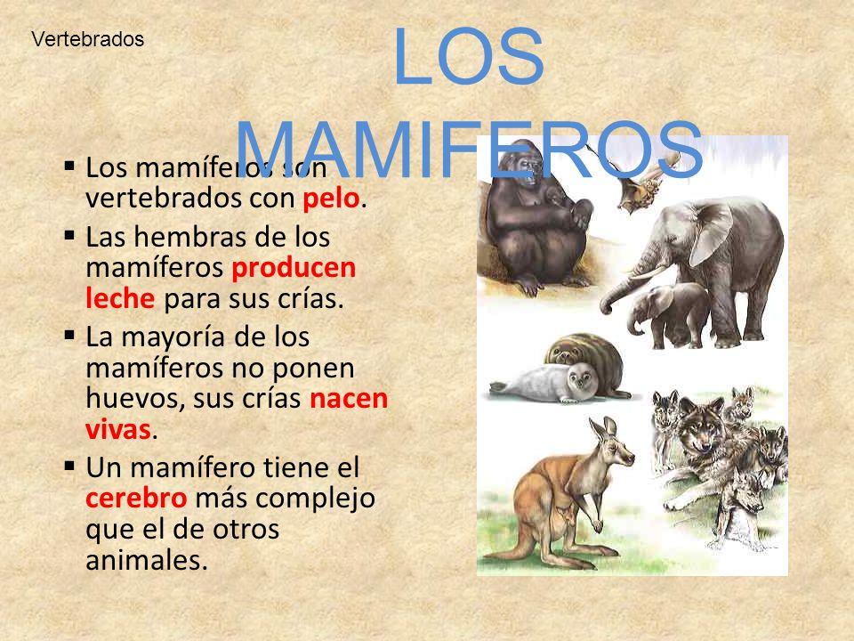 Los mamíferos son vertebrados con pelo. Las hembras de los mamíferos producen leche para sus crías. La mayoría de los mamíferos no ponen huevos, sus c