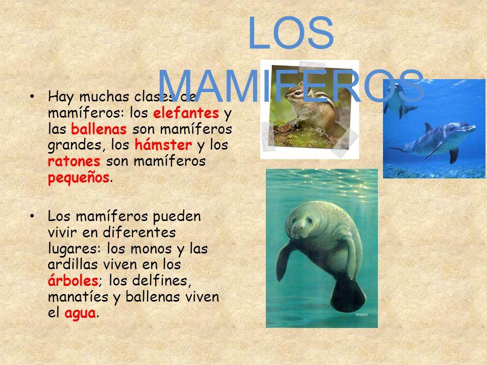 Hay muchas clases de mamíferos: los elefantes y las ballenas son mamíferos grandes, los hámster y los ratones son mamíferos pequeños. Los mamíferos pu