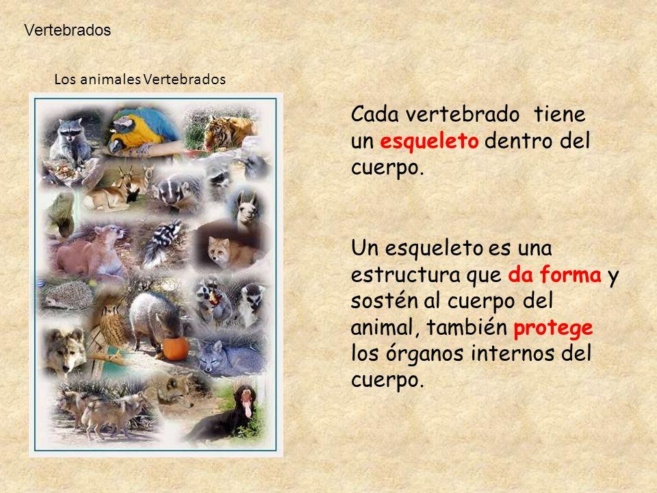 Los animales Vertebrados Cada vertebrado tiene un esqueleto dentro del cuerpo. Un esqueleto es una estructura que da forma y sostén al cuerpo del anim