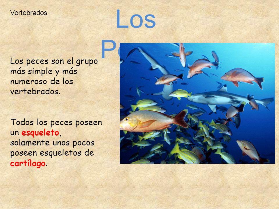 Los Peces Los peces son el grupo más simple y más numeroso de los vertebrados. Todos los peces poseen un esqueleto, solamente unos pocos poseen esquel