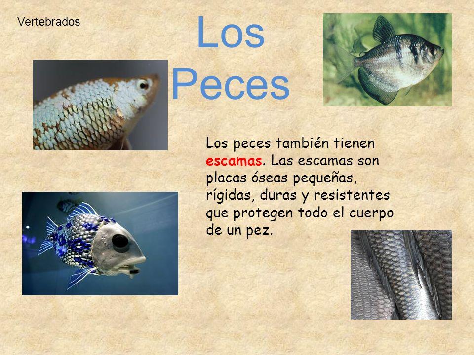 Los peces también tienen escamas. Las escamas son placas óseas pequeñas, rígidas, duras y resistentes que protegen todo el cuerpo de un pez. Vertebrad