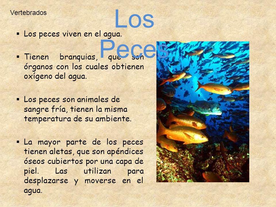 Los peces viven en el agua. Tienen branquias, que son órganos con los cuales obtienen oxígeno del agua. Los peces son animales de sangre fría, tienen