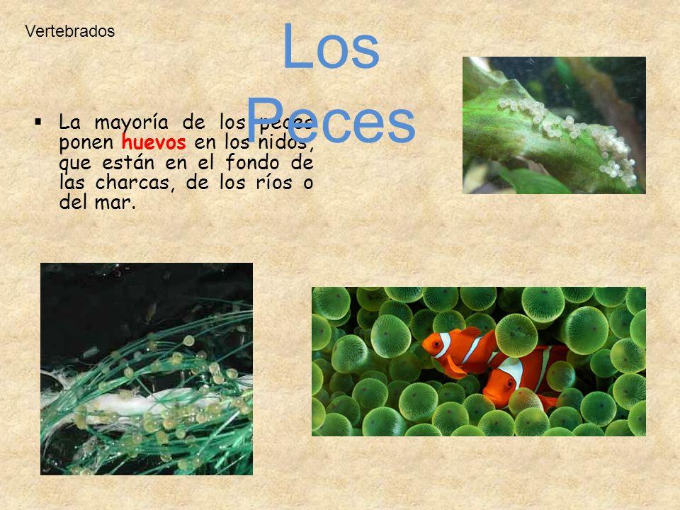 La mayoría de los peces ponen huevos en los nidos, que están en el fondo de las charcas, de los ríos o del mar. Vertebrados Los Peces